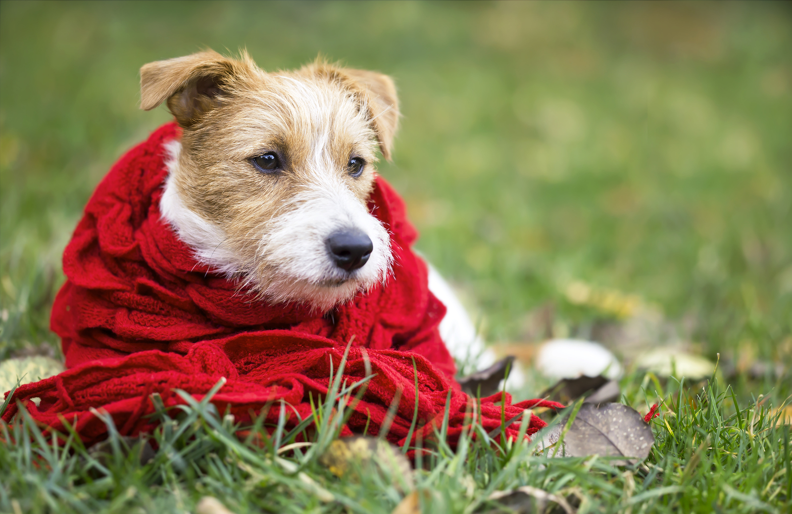 Happy happy jack russell pet dog puppy wearing a red scarf - christmas card, cold winter concept